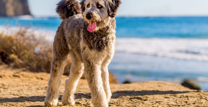 How to Choose the Right Doodle Breed For Your Family – 2021 Guide